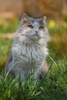 Gato de pêlo comprido britânico no jardim. lindo gato bicolor cinzento e branco. gatinho curioso olhando com olhos enormes.