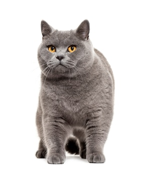 Gato de pêlo curto britânico em pé