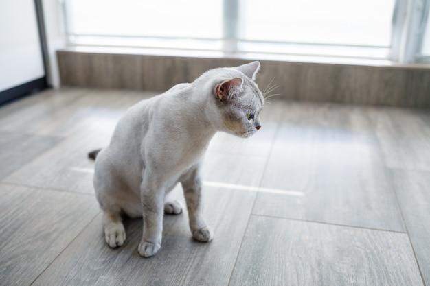 Gato de pêlo curto britânico sentado no chão de madeira olhando para o lado
