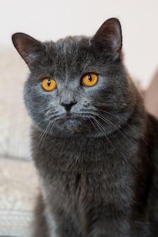 Gato de pêlo curto britânico