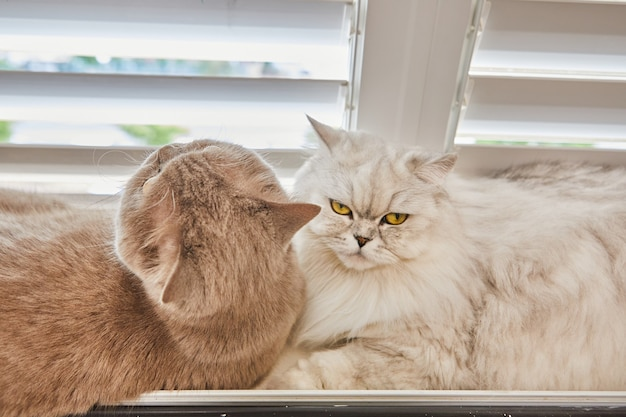 Gato de pêlo curto cinza britânico e gato de pêlo comprido britânico branco estão sentados na janela.