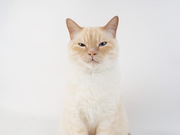 Gato de ponto de creme tailandês, gato branco com nariz vermelho e cauda em fundo branco
