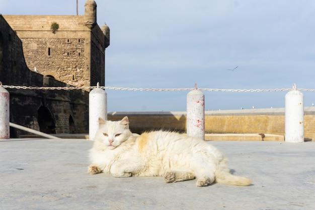 Gato de rua nas ruas de marraquexe e essaouira em marrocos