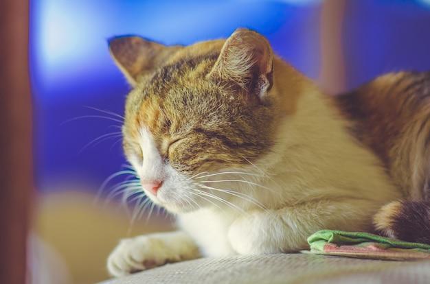 Gato de três cores dormindo contra um fundo azul