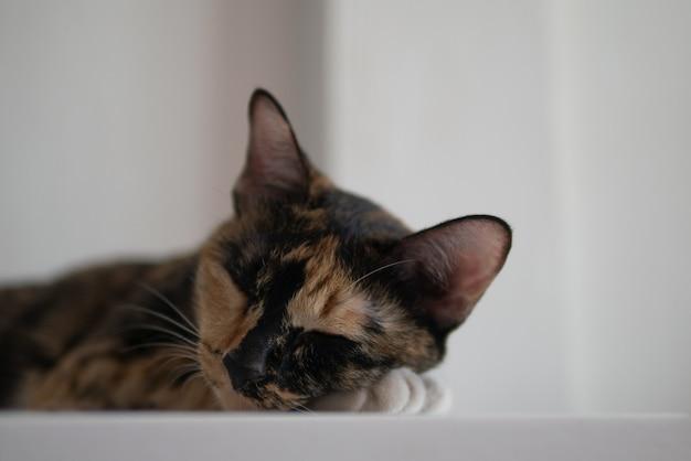 Gato de três cores é cochilo dormindo na cama branca em casa para o conceito de relaxamento de estilo de vida preguiçoso com espaço de cópia