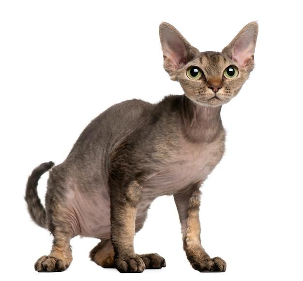 Gato devon rex, 2 anos. retrato de gato isolado