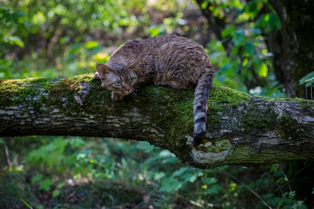 Gato devon rex senta-se em um tronco na floresta