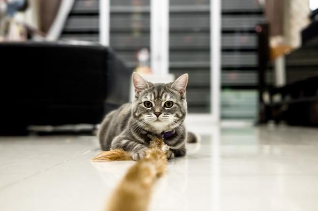 Gato do retrato americano pequeno bonito shorthair.