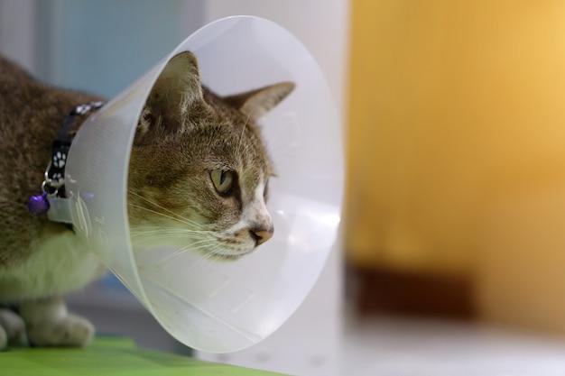 Gato doente com cone veterinário na cabeça para proteger o gato de lamber uma ferida.