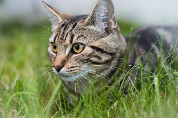 Gato doméstico cinza sentado na grama com um fundo desfocado