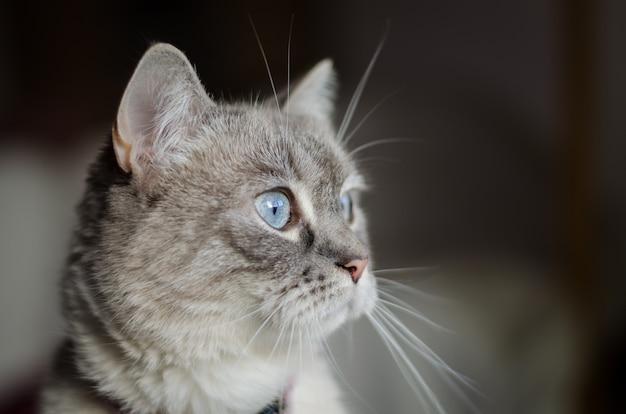 Gato doméstico com olhos azuis
