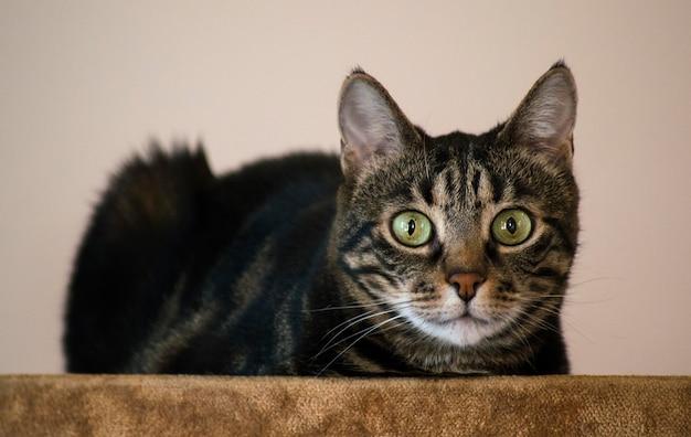 Gato doméstico com padrões pretos e marrons sentado em uma sala