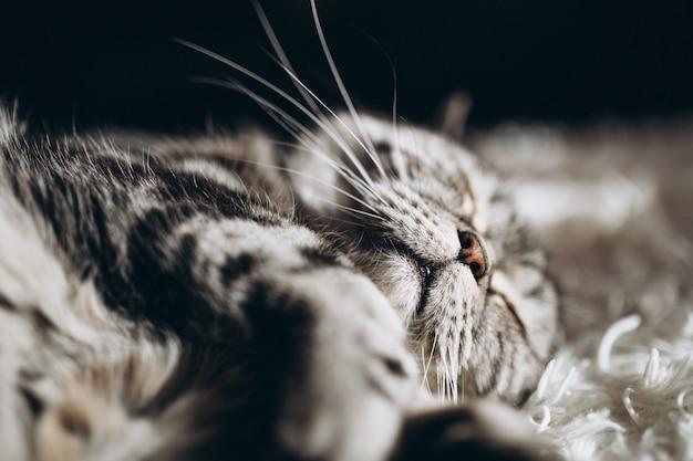 Gato doméstico com sono no sofá