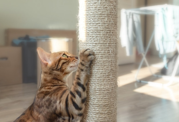 Gato doméstico de bengala coçando um poste marrom.