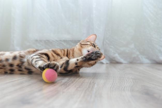 Gato doméstico de bengala no chão da sala lambendo a pata