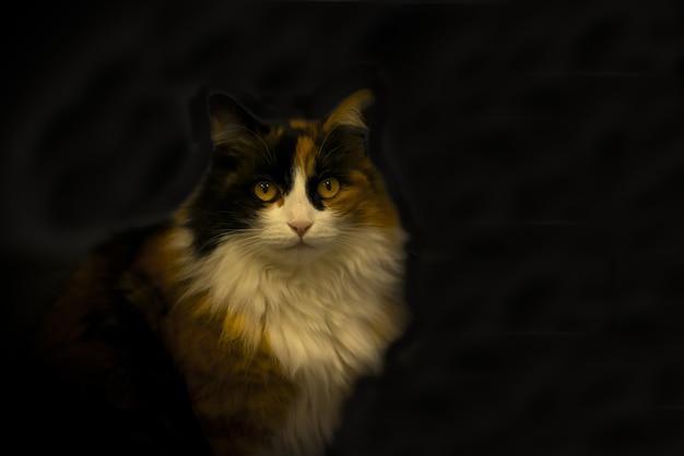 Gato doméstico de pêlo comprido sob as luzes contra um espaço escuro