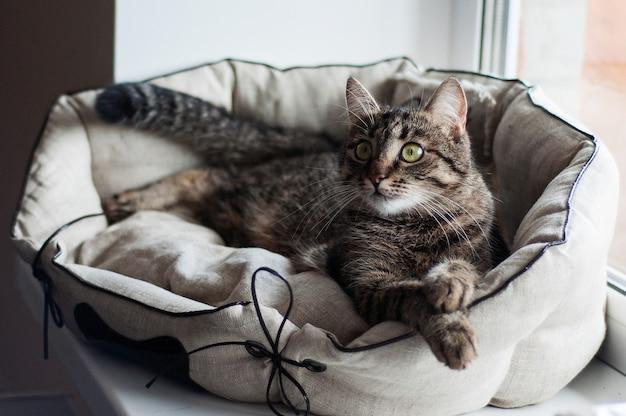 Gato doméstico europeu deita-se sobre um travesseiro e fofura as patas dobradas.