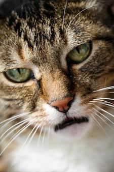 Gato doméstico irritado