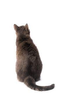 Gato doméstico isolado no fundo branco. traçado de recorte.
