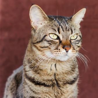 Gato doméstico listrado adulto mestiço olha para o lado