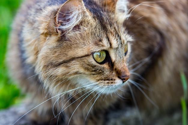 Gato doméstico olhando para a câmera, close-up