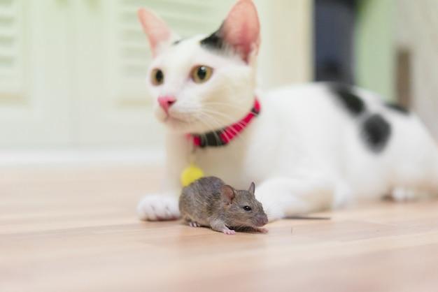 Gato doméstico que leva o rato pequeno do roedor na casa, gato branco que trava um rato.