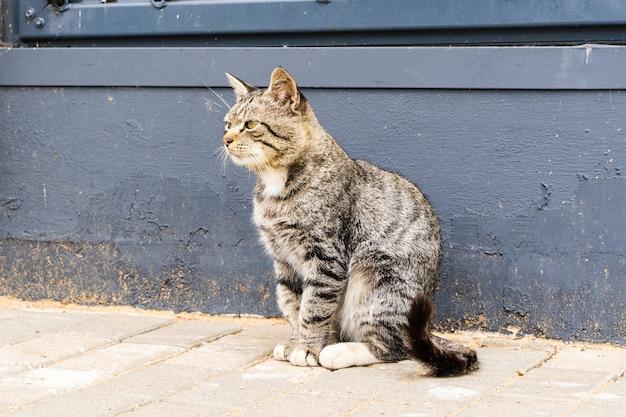 Gato doméstico sério listrado está sentado perto da parede azul escuro.