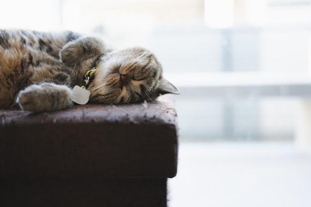 Gato dormindo na casa. gato relaxado preguiçoso