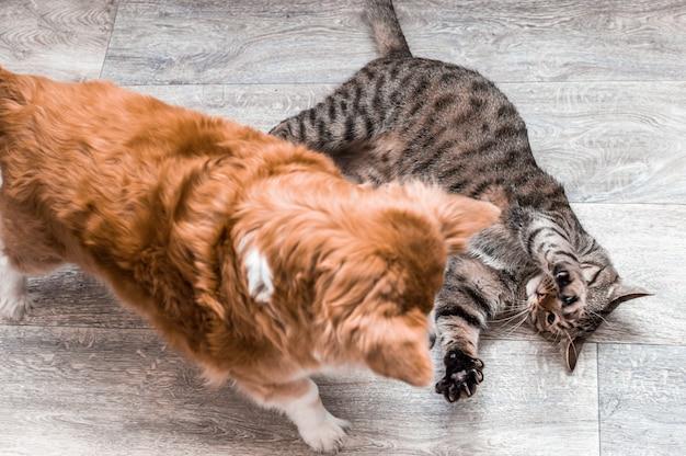 Gato e cachorro brincando juntos no apartamento. retrato do close up. conceito de amizade entre um cachorro e um gato