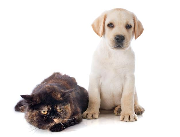 Gato e cachorro de pêlo curto exótico