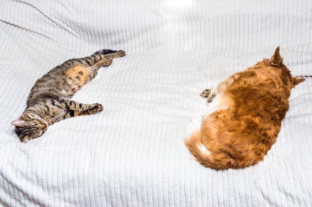 Gato e cachorro dormindo juntos em uma cama em um apartamento.