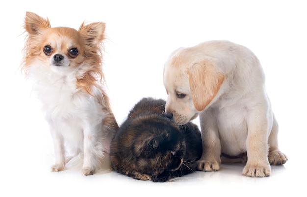 Gato e cães exóticos do shorthair