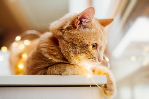 Gato e luzes de natal. gato bonito do gengibre que encontra-se perto da janela e do jogo com luzes.