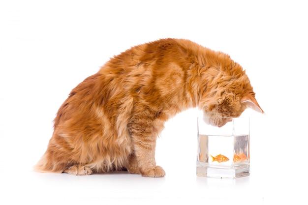 Gato e um peixe dourado