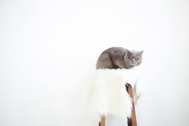 Gato em uma cadeira. lindo gato cinzento.