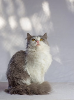 Gato em uma parede branca. adorável gato em casa. lindo gato cinzento branco bicolor. lindo gato cinzento e branco.