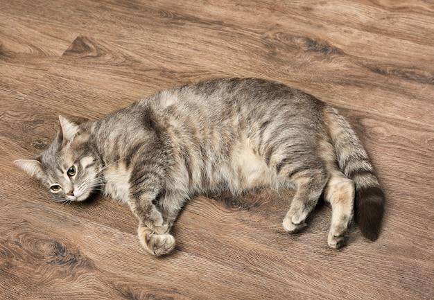 Gato engraçado com sobrepeso deitado no chão de madeira