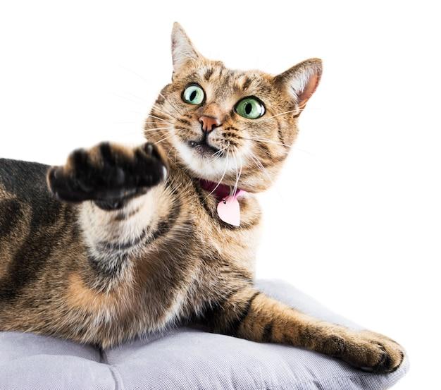 Gato engraçado de bengala deita-se em um travesseiro macio e puxa a pata para o lado de maneira divertida.