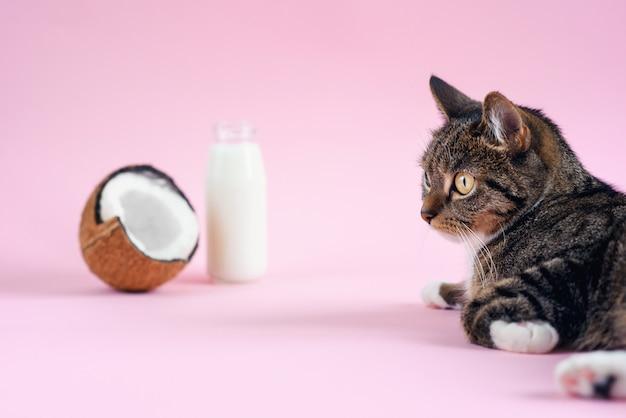 Gato engraçado deitado perto de leite de coco na garrafa e coco fresco em fundo rosa.