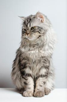 Gato escocês bonito e fofo em uma parede branca. isolar