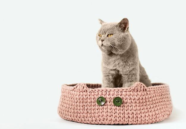 Gato escocês cinzento senta-se em uma cama de gato rosa em branco