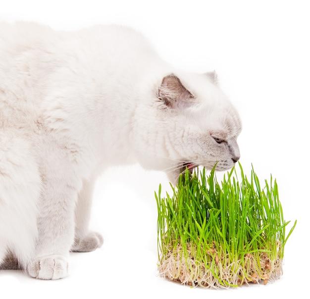 Gato escocês comendo broto de grama verde, vitaminas, isolado em um branco