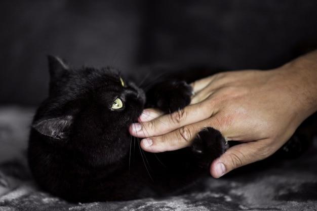 Gato escocês de pelúcia preto morde a mão de um homem de brincadeira