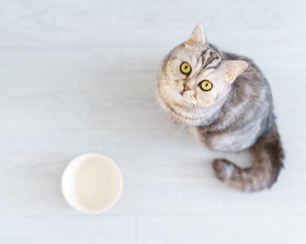 Gato escocês faminto de vista de cima quer comer, parecendo lamentavelmente um gatinho sentado no chão da cozinha e
