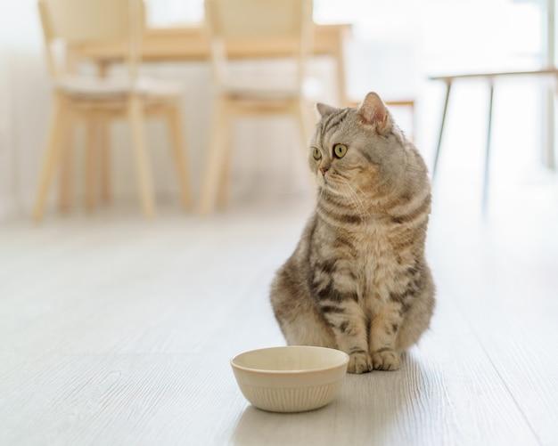 Gato escocês faminto quer comer, parecendo lamentavelmente um gatinho sentado no chão da cozinha e esperando