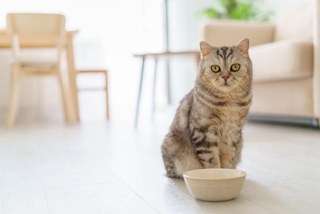 Gato escocês faminto quer comer, parecendo lamentavelmente um gatinho sentado no chão da cozinha.