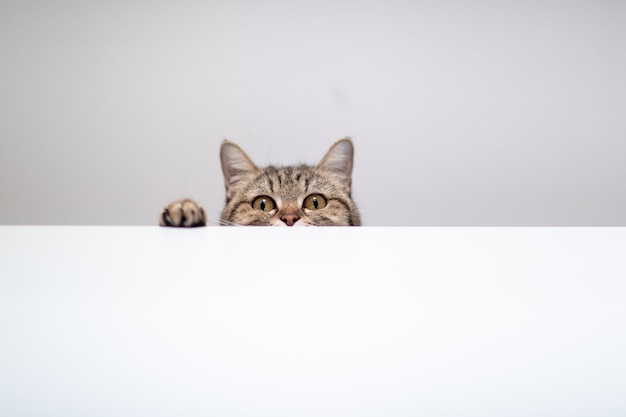 Gato esconde-esconde em fundo branco com copyspace