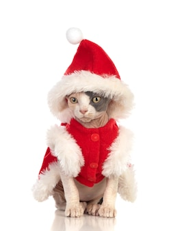 Gato esfinge com roupas de natal isoladas em um fundo branco