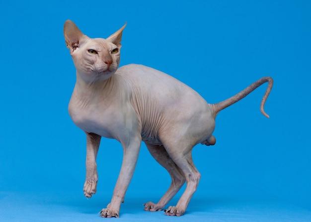 Gato esfinge em fundo azul claro
