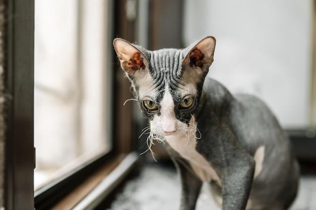 Gato esfinge preto e branco sentado no parapeito da janela